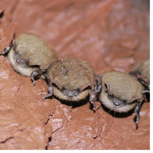 Little brown bats photographed by Dr. Christine Salomon, who will lecture about research in biocontrol agents for White Nose Syndrome at UNCG Nov. 2