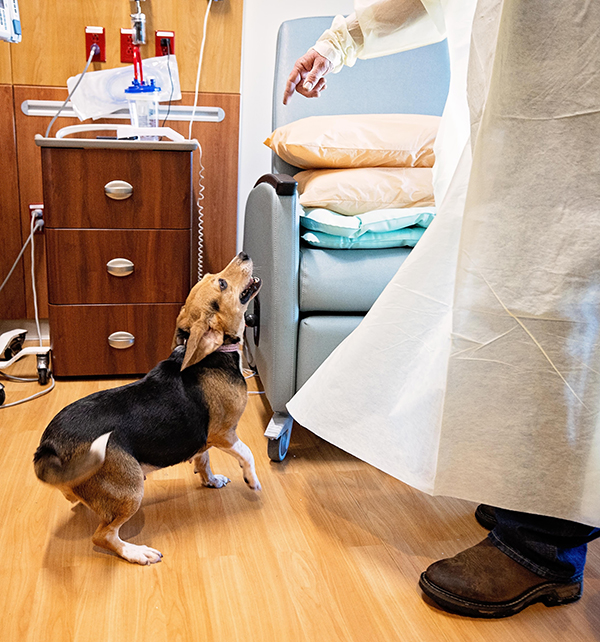 Harley the beagle at work in a hospital room.