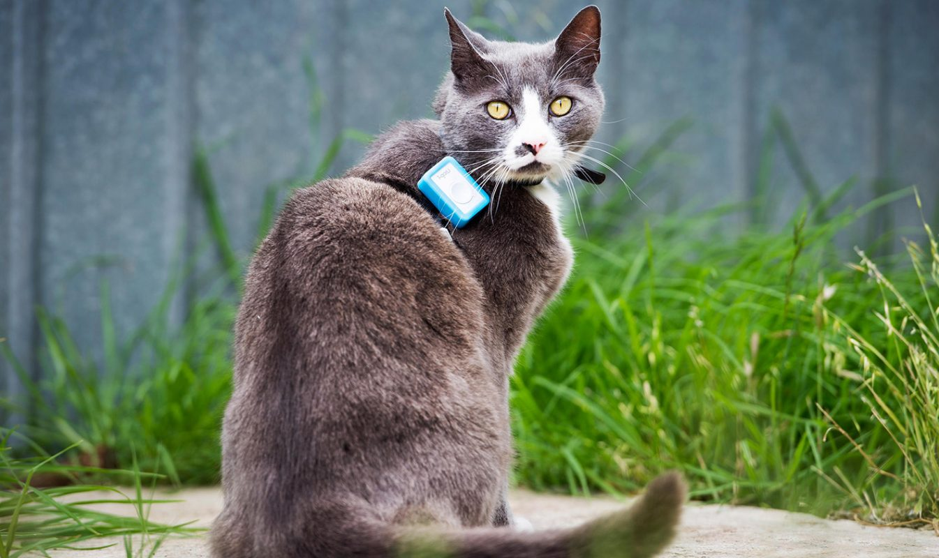 Cat with tracking device