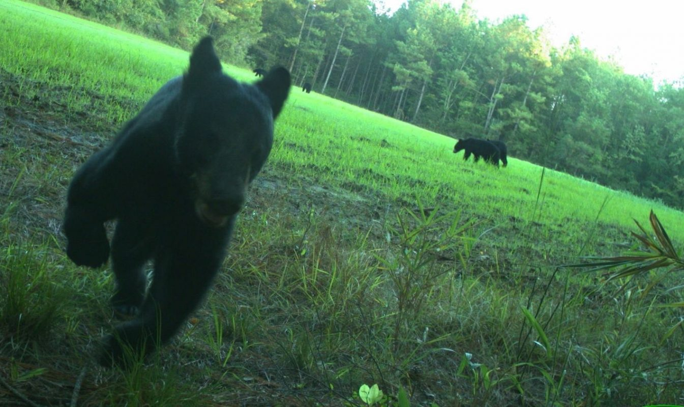 A citizen science image of bears